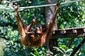 Sandakan Sabah Sepilok-Orangutan-Rehabilitation-Centre-13.jpg