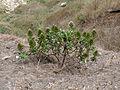 Santiago-Echium hypertropicum (2).jpg