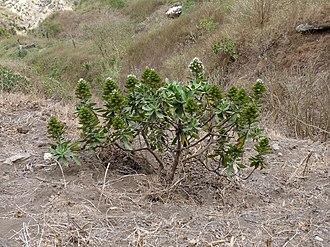 Echium hypertropicum - Echium hypertropicum near Ribeira Principal in Santiago