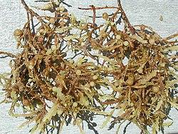 Sargassum weeds closeup.jpg