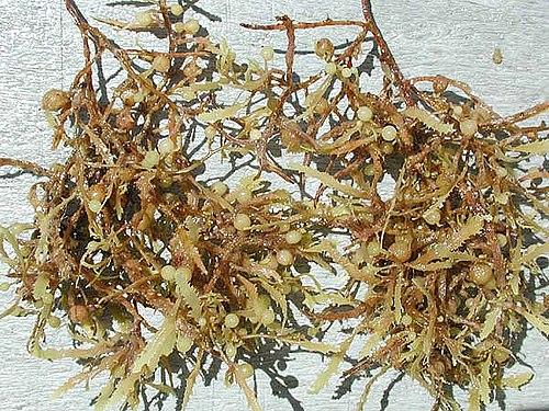 500px-Sargassum_weeds_closeup.jpg