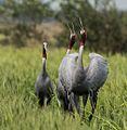 Sarus Cranes Courtship Display (26786892420).jpg