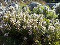 Satureja montana - GBA Viote 09-16.jpg