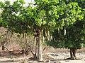 Sausage tree (Kigelia africana), Ghana.jpg