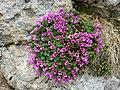Saxifraga oppositifolia (saxífraga opositifòlia) (17279632505).jpg