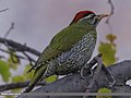 Scaly-bellied Woodpecker (Picus squamatus) (25600869792).jpg