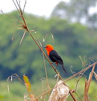 Scarlet-headed blackbird - Image: Scarlet headed Blackbird (Amblyramphus holosericeus) (28849092122)