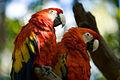 Scarlet Macaws (2142278231).jpg