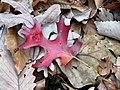 Scarlet Oak (30367495684).jpg