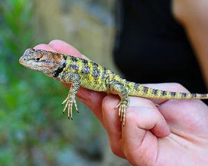 Spiny lizard - Sceloporus uniformis