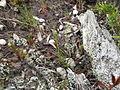 Schizaea pusilla.JPG