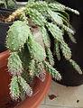 Schlumbergera opuntioides.jpg
