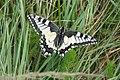 Schwalbenschwanz (Papilio machaon) auf Feldberg - geo.hlipp.de - 19160.jpg