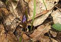 Scilla bifolia в урочищі Баймаки 2.jpg