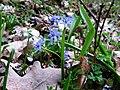 Scilla bifolia 08(1). Khortitsa.jpg