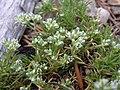 Scleranthus perennis plant (08).jpg