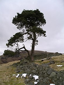 Scots pine, Crow Wood. - geograph.org.uk - 139303.jpg