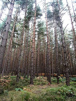 Scots pines in Park Wood - geograph.org.uk - 1508443