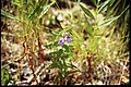 Scutellaria galericulata 3-eheep (5097984778).jpg