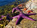 Sea Stars (1368405867).jpg