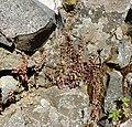 Sedum cepaea plant (22).jpg