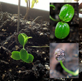 Seedlings of Jasminum.png