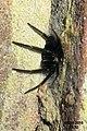 Segestria florentina 5 (FG) (32586454320).jpg