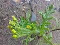 Senecio vulgaris 01.jpg