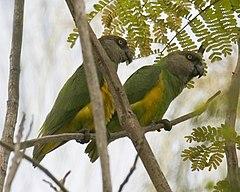 A pair of Senegal Parrots in AfricaPoicephalus senegalus