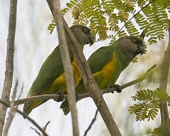 English: A pair of wild Senegal Parrots in a t...