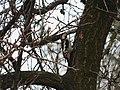 Seoski detlić ženka (Dendrocopos syriacus) Syrian Woodpecker female.jpg