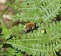 Sericomyia (Arctophila) superbiens - male - Flickr - S. Rae (1).jpg