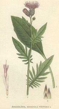 Serratula tinctoria.jpg