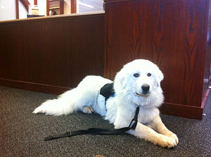 Hearing dog - Service Dog in down-stay while handler is busy checking out books at library.