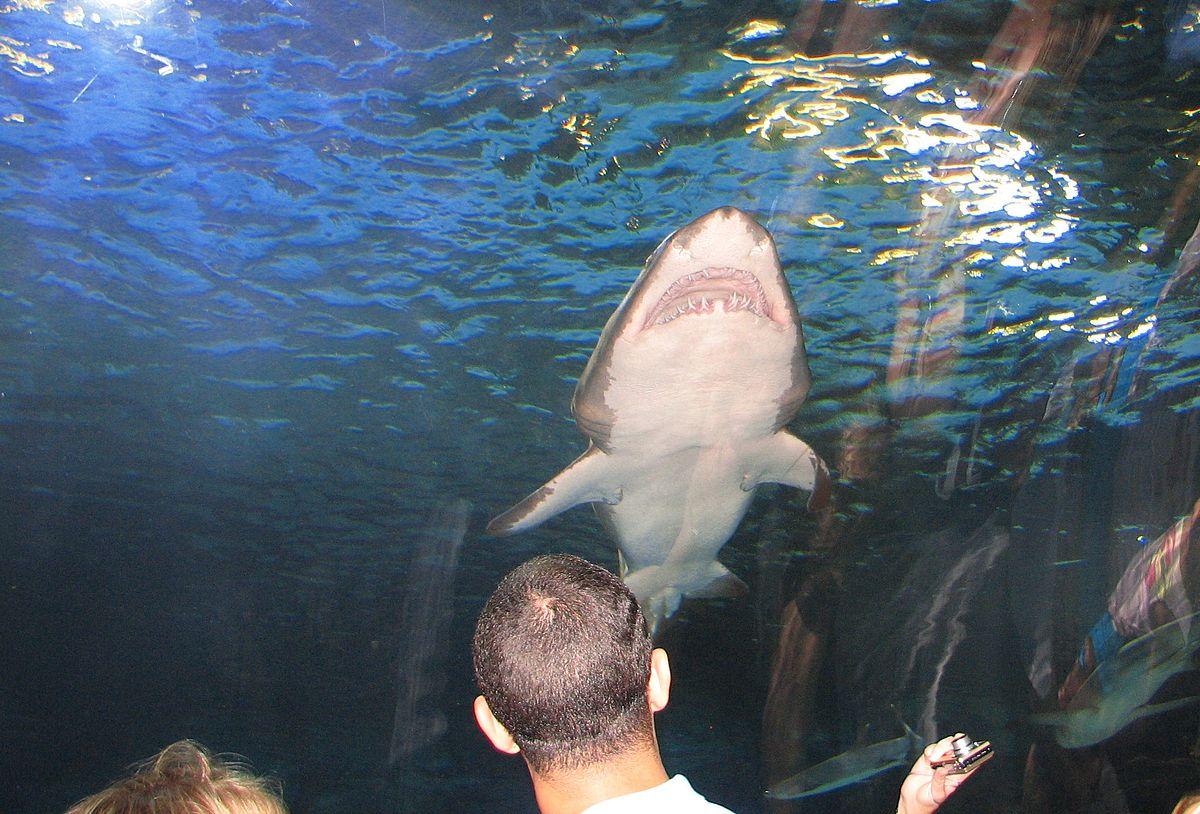 Shark at Newport Aquarium.jpg