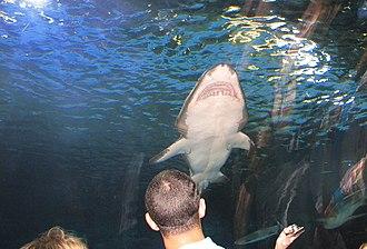 Newport Aquarium - Image: Shark at Newport Aquarium