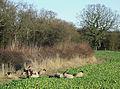 Sheep in a Turnip Field, near Harley, Shropshire - geograph.org.uk - 631579.jpg