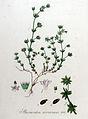 Sherardia arvensis — Flora Batava — Volume v9.jpg