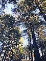 Shimla trees.jpg