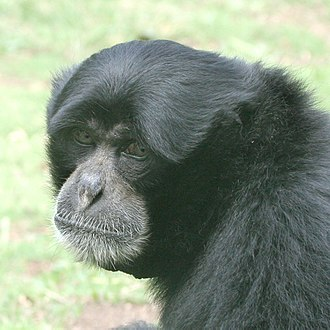 Siamang - The close-up of adult male's head