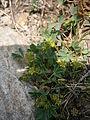 Sibbaldia procumbens 002.JPG