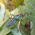 Sibirian Grasshopper.jpg