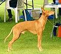 Sicilian Greyhound 2.jpg