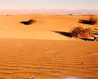 Crotalus cerastes - Sidewinder tracks in Death Valley National Park