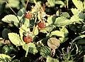 Sierra de Cameros, frutillas 2.jpg