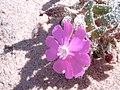 Silene obtusifolia.jpg