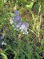 Silene vulgaris, blaassilene.jpg