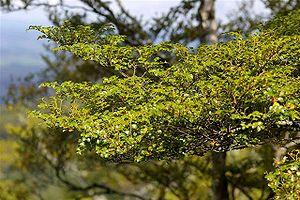 Maungatautari Restoration Project - Silver beech discovered at Maungatautari in April 2006.