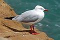 Silver Gull (Larus novaehollandiae) (6811042998).jpg