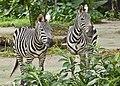 Singapore Zoo Zebra-6 (6698409161).jpg